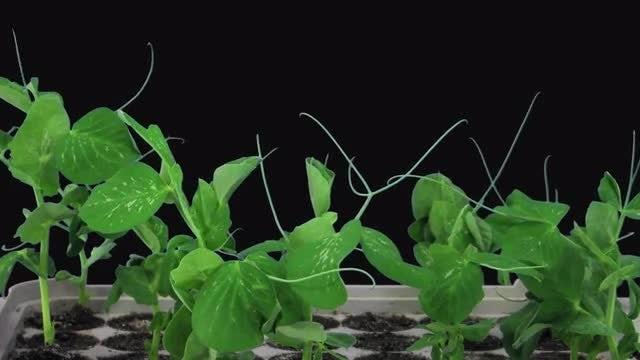 Pea Plants Growing Taller: Stock Video