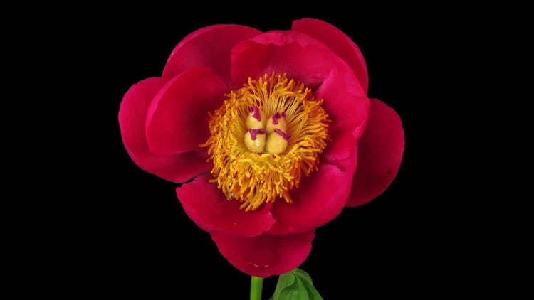 Red Peony Flower Top View: Stock Video