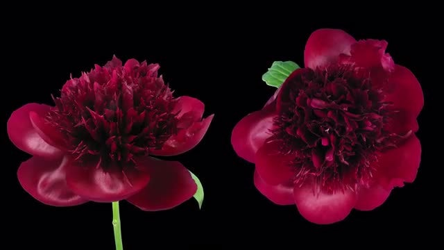 Red Peony Double View: Stock Video