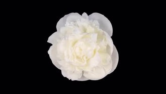 White Peony Flower Top View: Stock Video