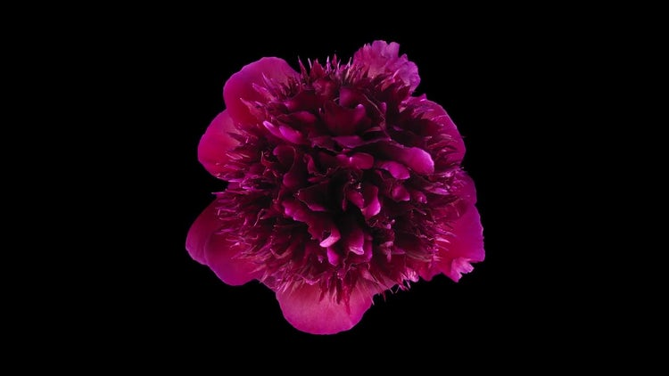 Dying Red Peony Flower: Stock Video