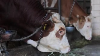 Dairy Cows In The Stable: Stock Video