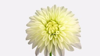 White Dahlia Infinite Petals : Stock Video