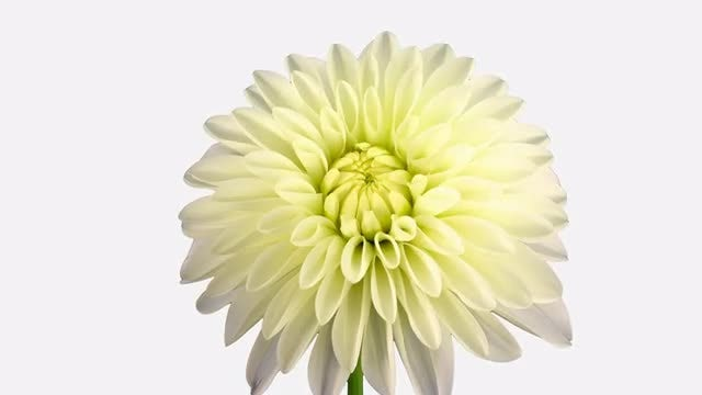 White Dahlia Infinite Petals : Stock Video