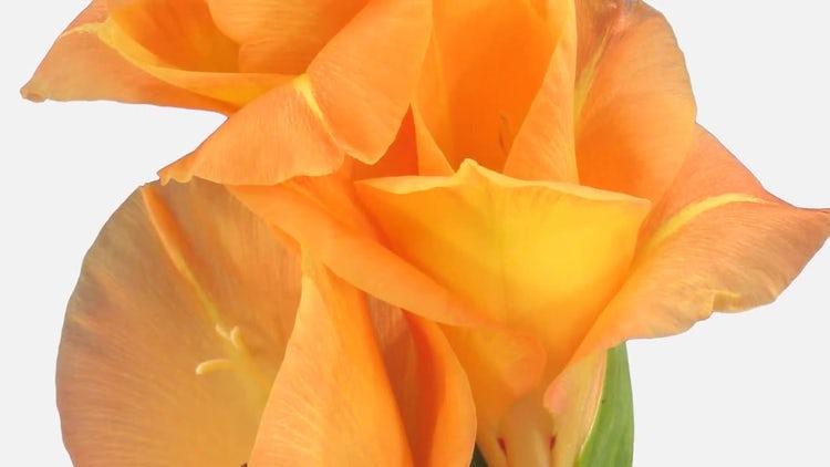 Growing Opening Orange Gladiola: Stock Video