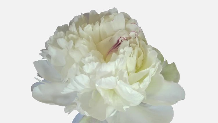 Opening White Peony Flower: Stock Video