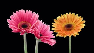 Three Gerbera Flowers: Stock Video