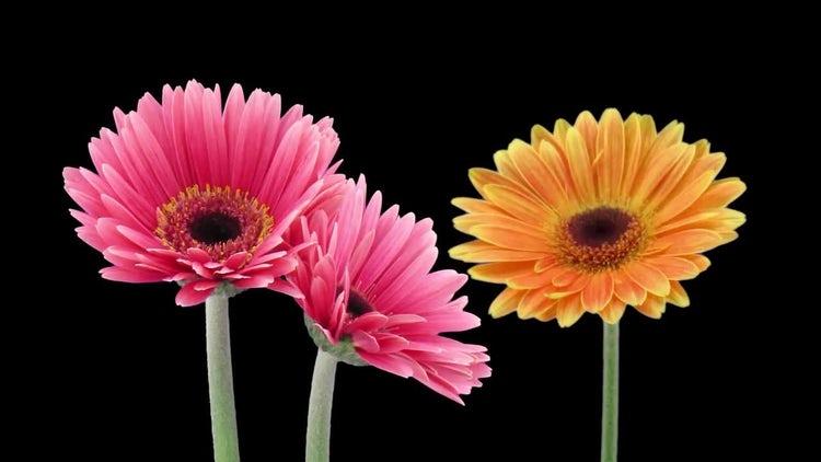 Three Gerbera Flowers: Stock Video