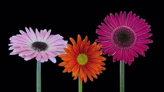 Pink Orange Purple Gerbera Flowers: Stock Video