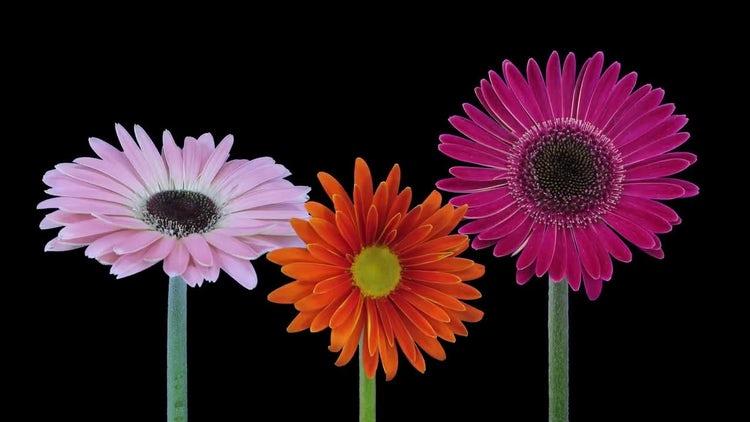 Pink Orange Purple Gerbera Flowers: Stock Video