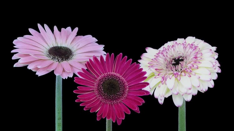 Pink Purple White Gerbera Flowers: Stock Video