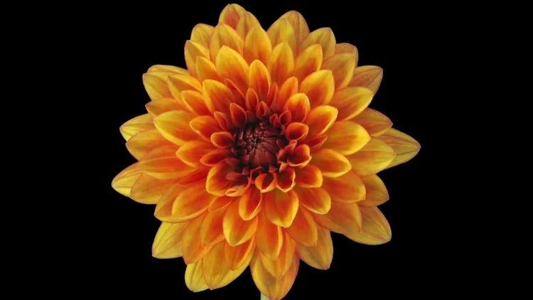 Growing And Opening Orange Dahlia : Stock Video