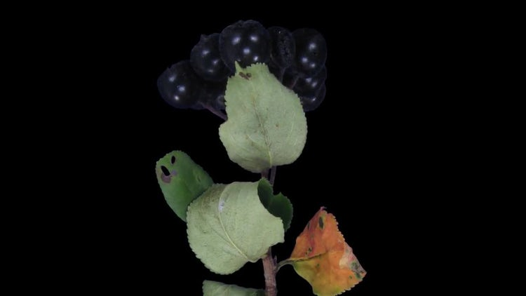 Wilting Aronia Leaves: Stock Video