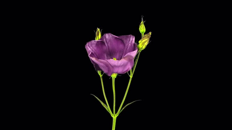Blooming Japanese Rose: Stock Video