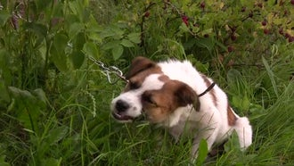 Dog Eats Elytrigia Repens Grass: Stock Video