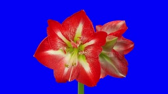 Opening Amaryllis Christmas Star Flower: Stock Video