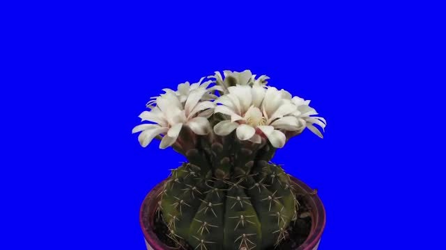 Blooming White Cactus Buds: Stock Video
