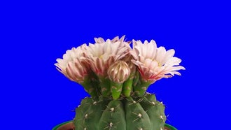 Blooming Pink Cactus Buds: Stock Video