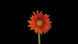 Orange Gerbera Flower Blooms: Stock Video