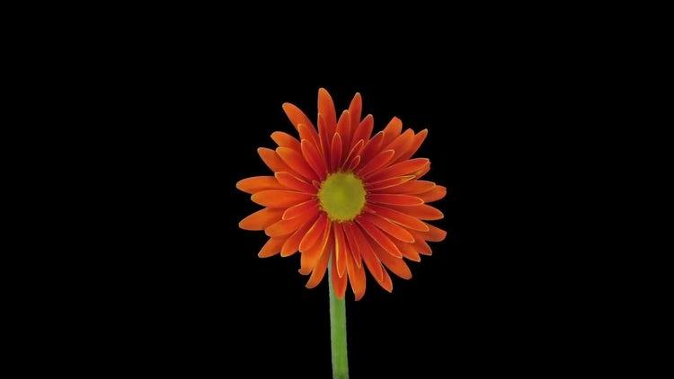 Orange Gerbera Flower Blooms: Stock Video