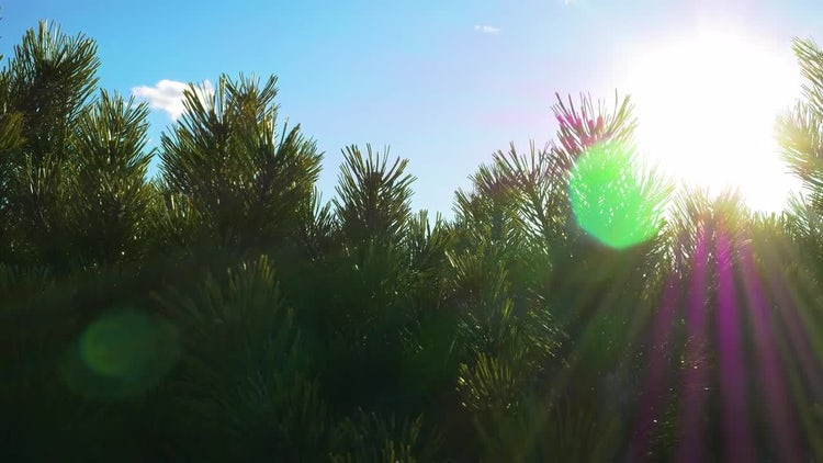 Pine Tree Branches: Stock Video