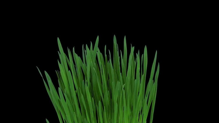 Barley Sprouts Grow And Rotate : Stock Video
