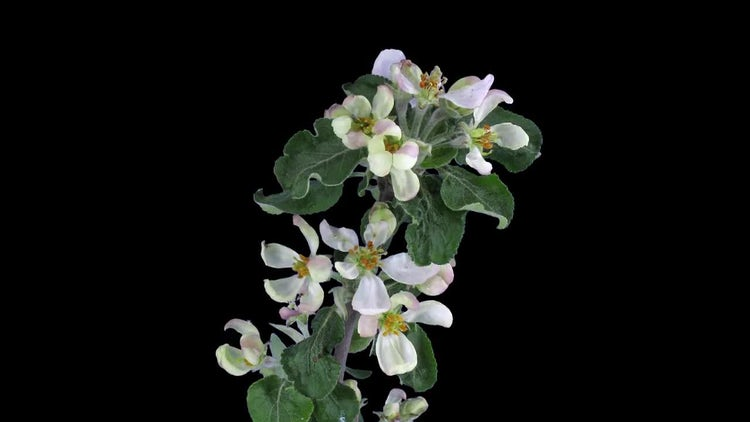 Blooming Apple Branch: Stock Video