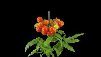 Tomato Fruits Ripen : Stock Video
