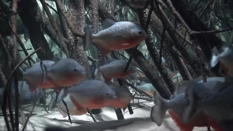 Red Bellied Piranha, Close-up: Stock Video