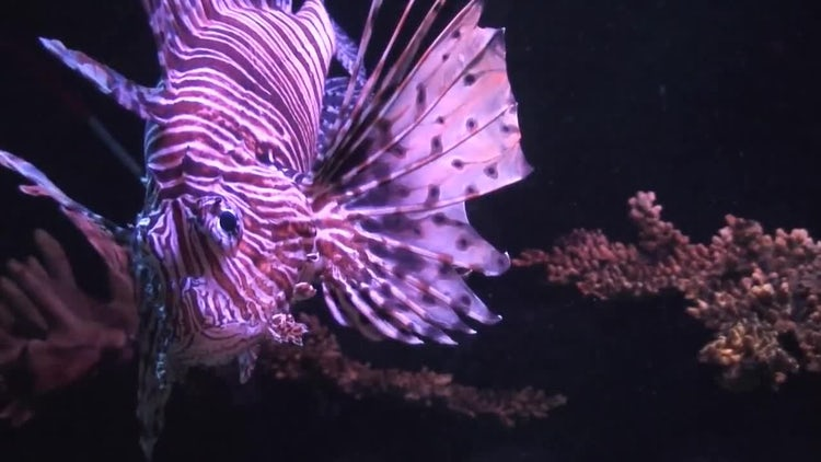 Lionfish (Pterois volitans): Stock Video