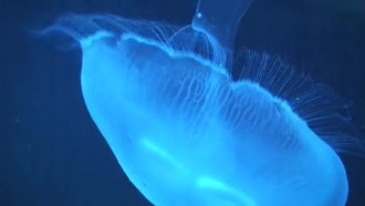 Phylum Cnidaria (Jellyfish) Swimming: Stock Video
