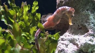 Hippocampus (Seahorse): Stock Video