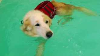 Dog Swims In Pool: Stock Video