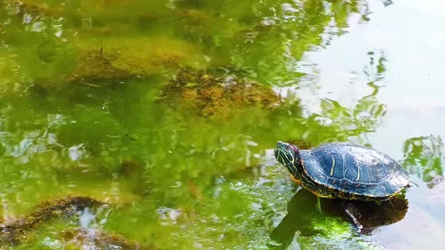 Turtle in Green Pond 2: Stock Video