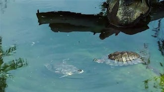 Turtle In Green Pond: Stock Video