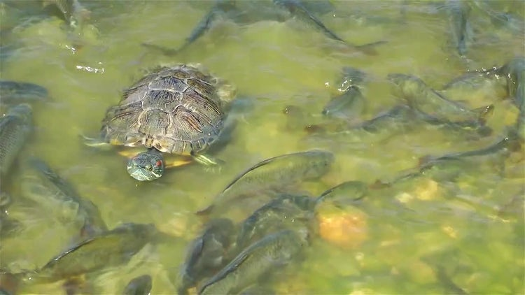 Fishes And Turtle In Lake: Stock Video