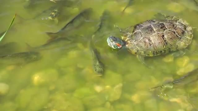 Fishes And Turtle In Lake 2: Stock Video