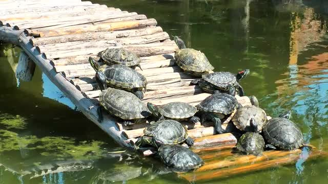 Turtles Sunbathing On A Wooden Bridge: Stock Video
