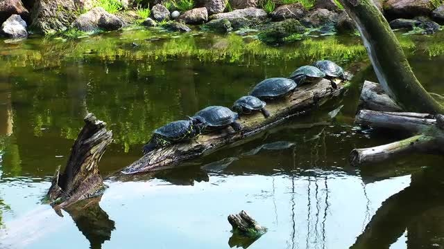Turtles Having Sunbath On Woods: Stock Video