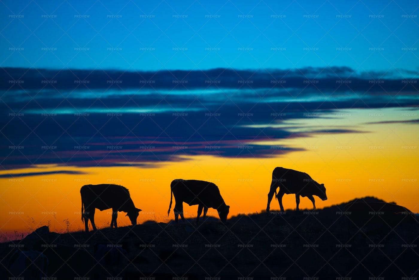 Cows In A Mountain: Stock Photos