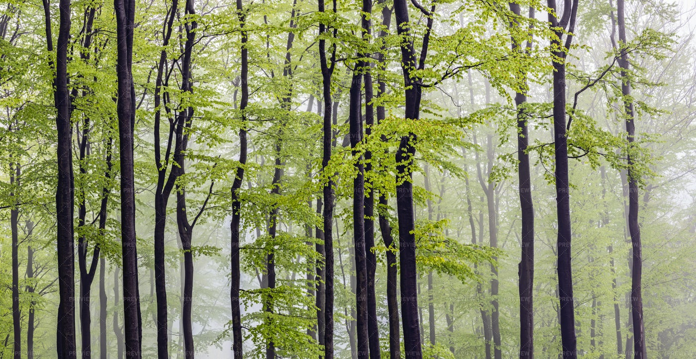 Foggy Forest: Stock Photos