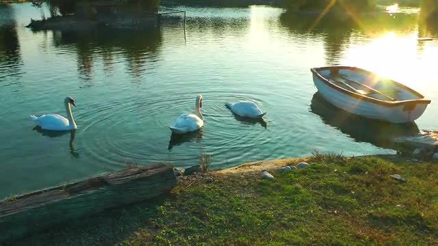Swans And The Boat On Lake: Stock Video