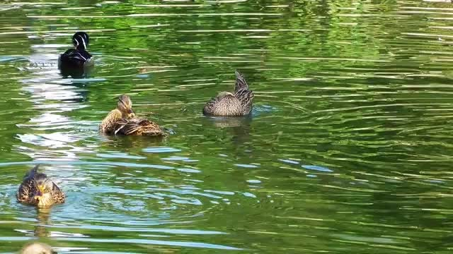 Ducks On Green Lake Water: Stock Video