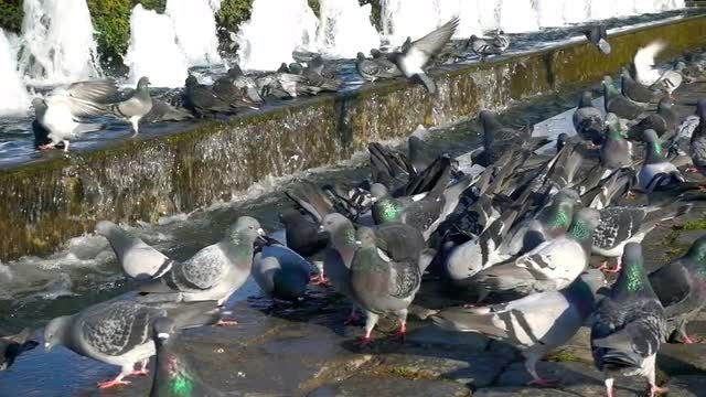 Pigeons By The Fountain: Stock Video