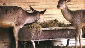Deer Feeding: Stock Video