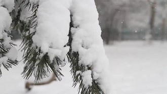 Pine Tree Covered With Snow: Stock Video