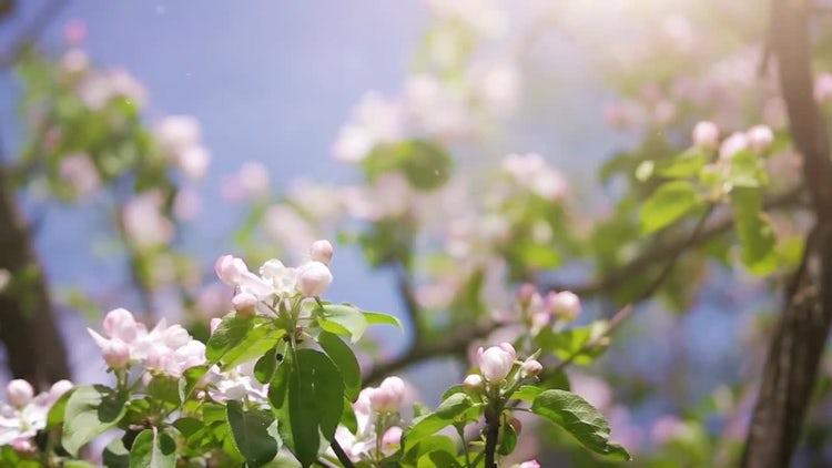 Springtime Pink Blossoms: Stock Video