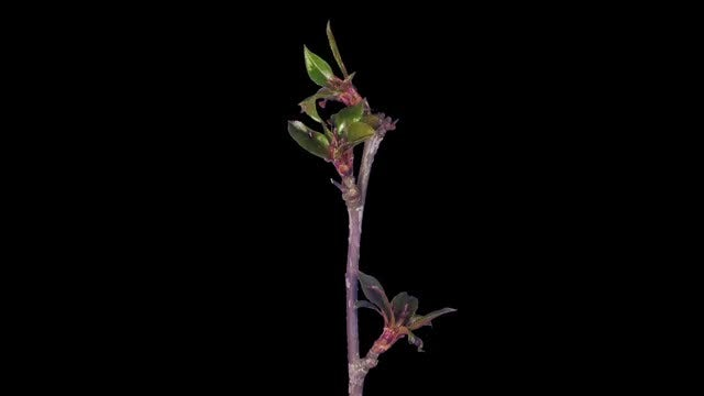 Blooming Apple Paradise Branch: Stock Video