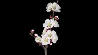 Blooming Apricot Branch: Stock Video