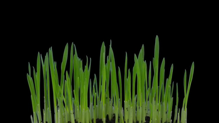 Germinating And Growing Barley: Stock Video